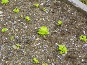 lettuce june 4