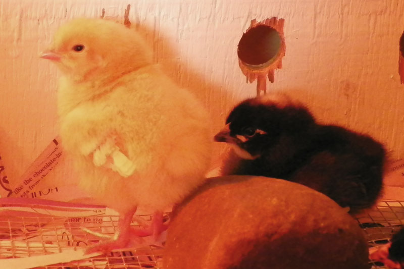 Baby Chicks – Day 3 at Downeast Thunder Farm