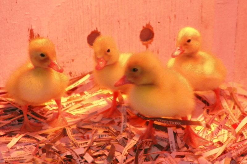 Baby Ducklings!
