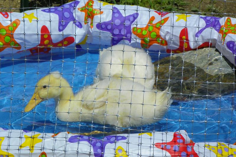 Oscar Got His Quack