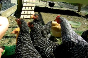 blackberry loving chickens