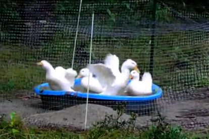 Tropical Storm Irene Brings Ducky Weather
