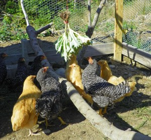 Salad on a string for the chickens