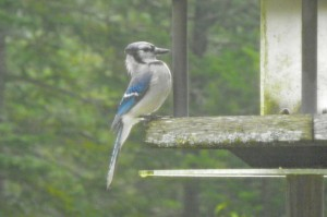 My budding photographer catches a blue jay