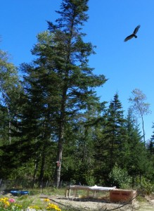 hawk circling over ducks and chickens