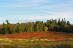 crimson blueberry barrens