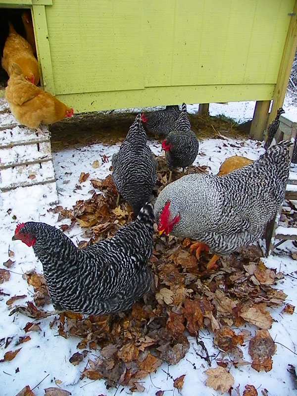 Chickens in leaves on snow
