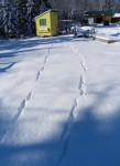 fox tracks around the chicken coop