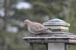 Mourning Dove from my kitchen window