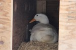 Dilly the Duck on her nest