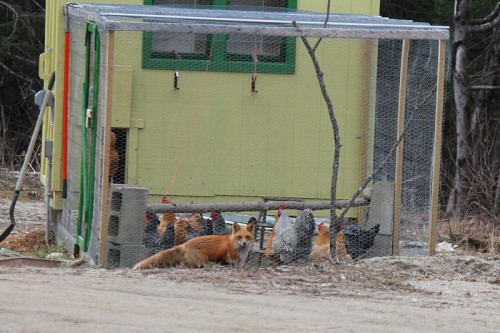 Fox at the chicken coop