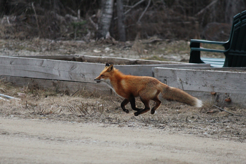 Fox caught on camera