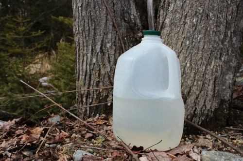 half gallon of maple sap