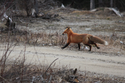 Fox trotting away