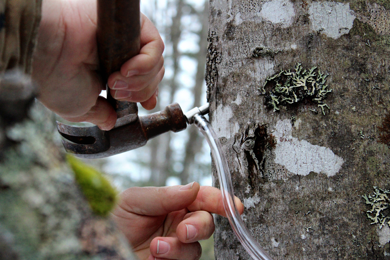 Sugaring: Tapping Maple Trees