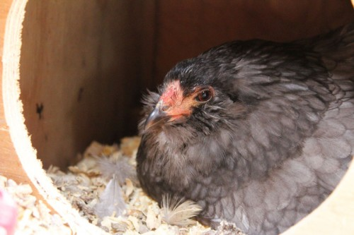 broody bantam chicken