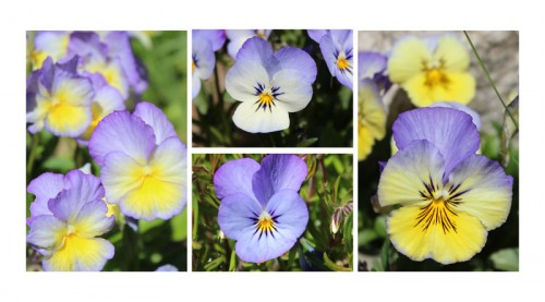 volunteer pansies