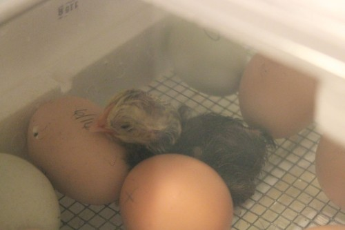 Newborn chick in incubator