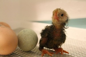 hours old baby chick