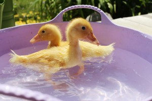 Pekin Ducklings First Swim