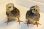 Gilfy and Miri - baby Buff Orpington/Barred Rock Chicks