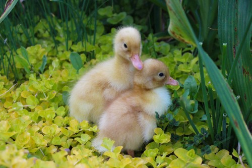 new baby ducklings