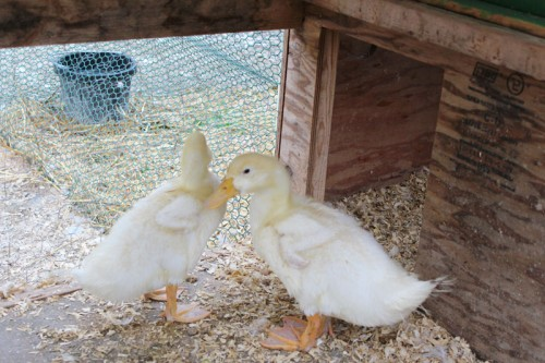 Ducklings booted out of the duck house