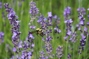 Busy Bumble Bee in Lavendar