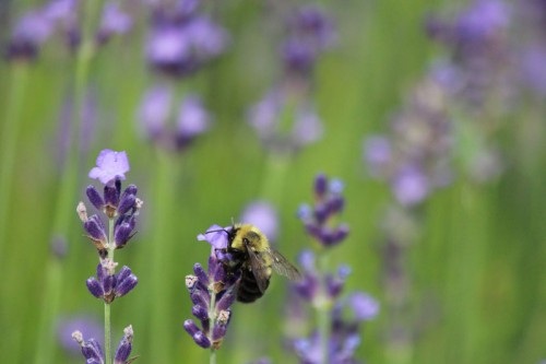 Bee with face stuffed in lavender