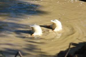 dunkin ducks