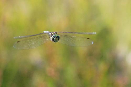 Eastern Pondhawk Dragonfly?