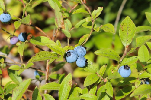 blueberries by the pond