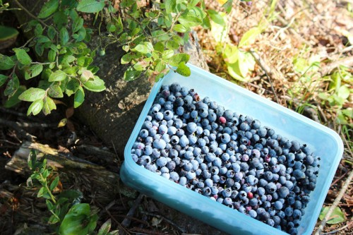 hand picked blueberries