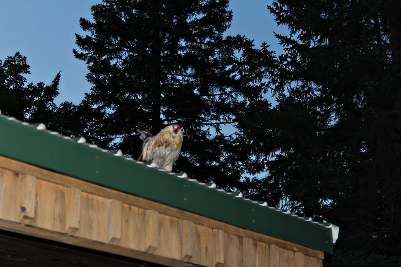 Chicken On A Hot Tin Roof