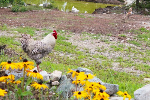 rooster colonel in the flowers