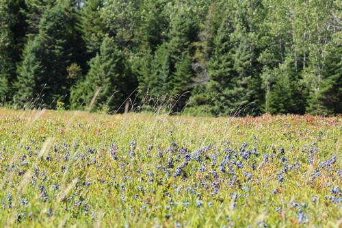 fields of blue at blueberry harvest time