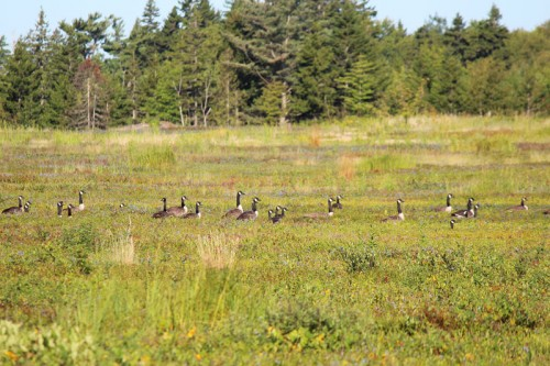 geese on the blueberry barren