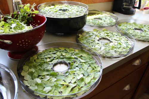 drying marjoram in the ronco food dehydrator