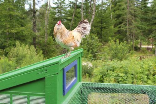 chicken on top of coop