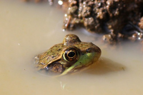 very loud pond frog