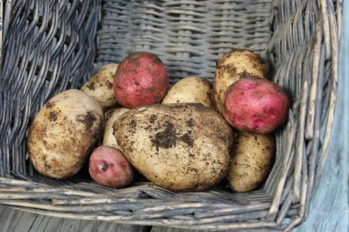 Maine potato harvest