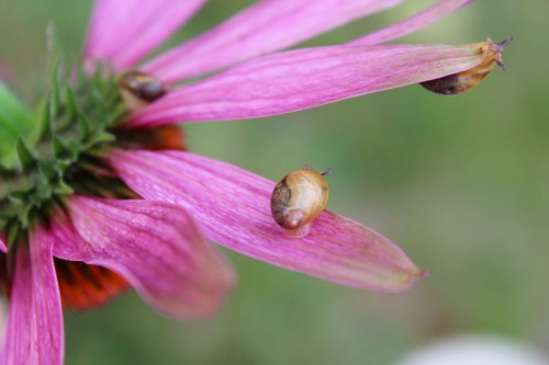Snail Family on a Purple Coneflower