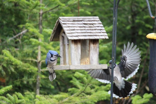 Arrival of a Second Blue Jay