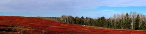 Autumn Blueberry Barrens