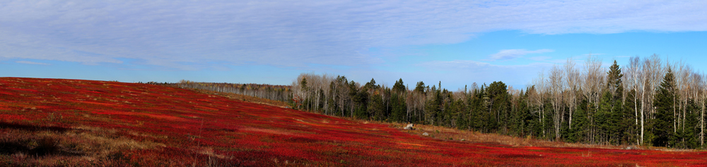October Blueberry Barrens