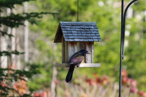 Common Grackle at the birdfeeder