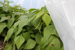 October Green Beans