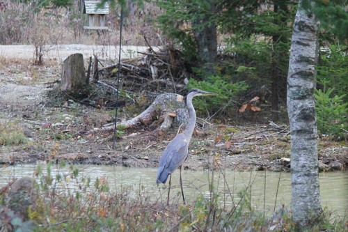Great Blue Heron at our duck pond