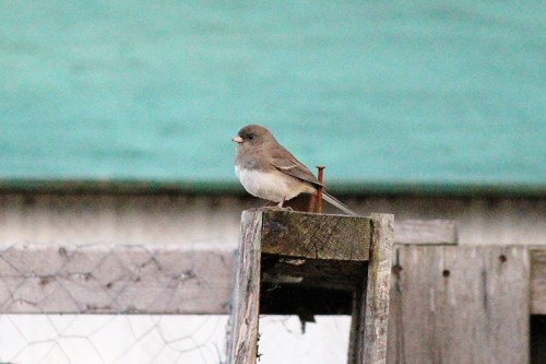 Black-eyed Junco