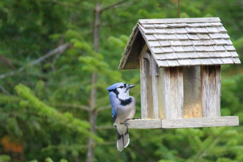 Monday's Blue Jay